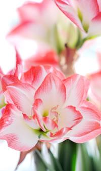 hippeastrum_december_woonplant_december_bloem