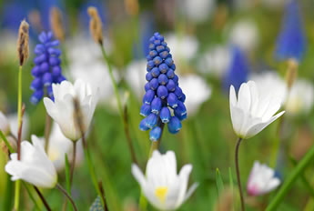 bloembollen_planten4