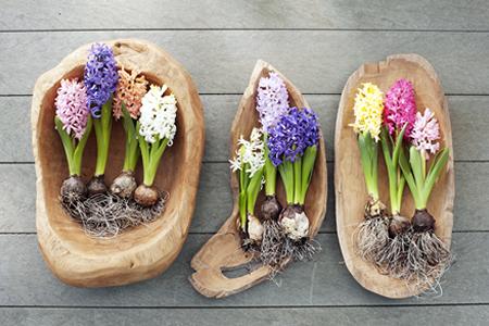 hyacint_woonplant_vd_maand2