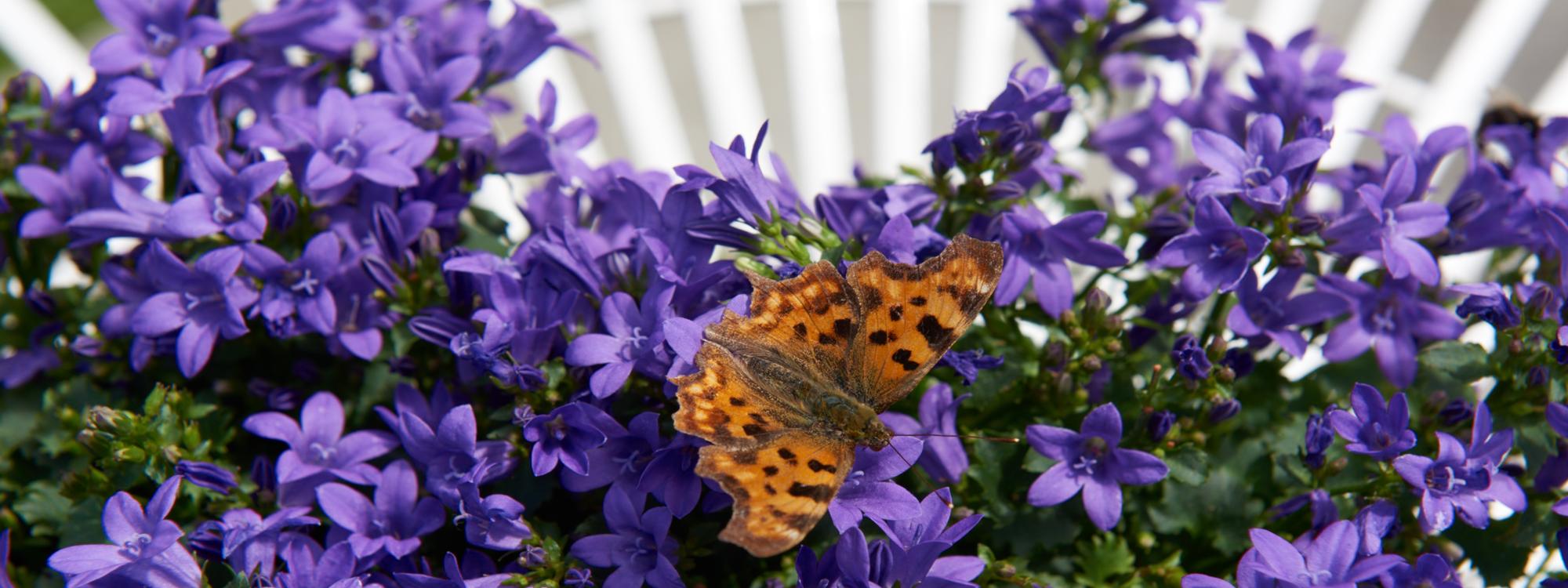 Campanula blauwe en witte zomer planten