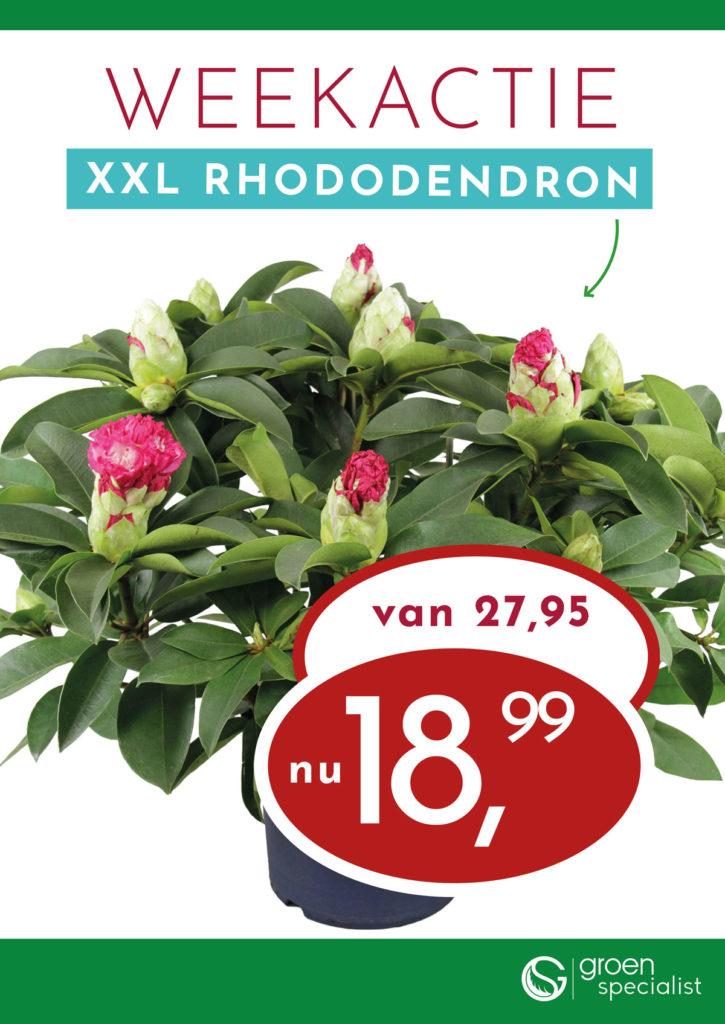 Weekactie XXL Rododendron